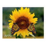 Monarch Butterfies on Sunflower Postcard