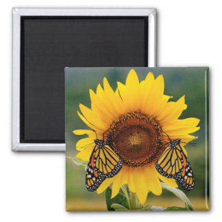 Monarch Butterfies on Sunflower Square Magnet