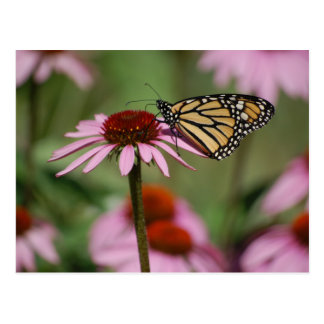 Monarch Butterfly and Black Eyed Susan Postcard