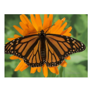 Monarch butterfly (Danaus plexippus) on pot Postcard