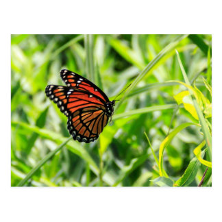 Monarch Butterfly in Flight Postcard