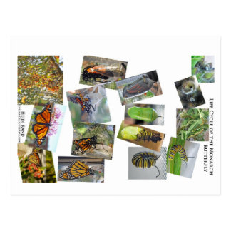 Monarch butterfly Life Cycle Postcard