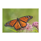 Monarch Butterfly male on Swamp Milkweed Canvas Print