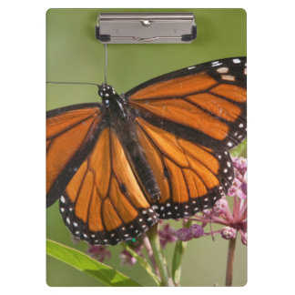 Monarch Butterfly male on Swamp Milkweed Clipboard