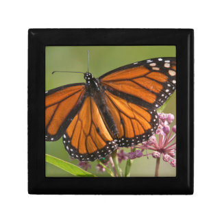 Monarch Butterfly male on Swamp Milkweed Gift Box