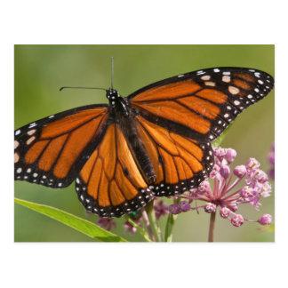 Monarch Butterfly male on Swamp Milkweed Postcard