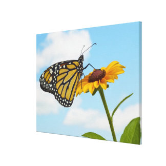 Monarch Butterfly on a Black Eyed Susan Canvas Print