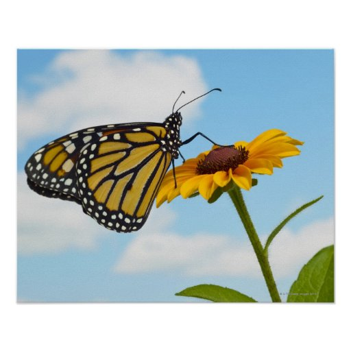 Monarch Butterfly on a Black Eyed Susan Poster