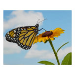 Monarch Butterfly on a Black Eyed Susan Posters