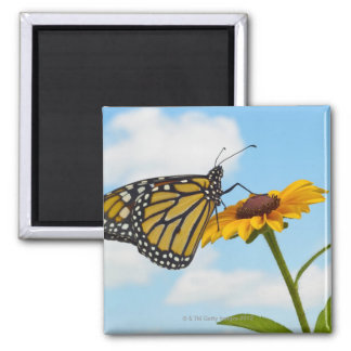 Monarch Butterfly on a Black Eyed Susan Square Magnet