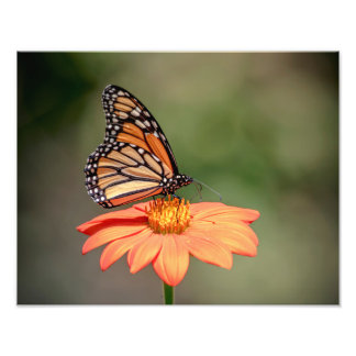 Monarch Butterfly on an orange flower Photo Art