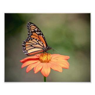 Monarch Butterfly on an orange flower Photo Print