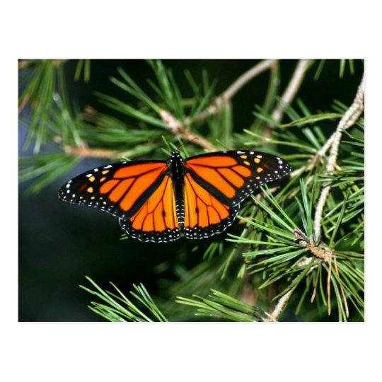 Monarch Butterfly on Pine Postcard
