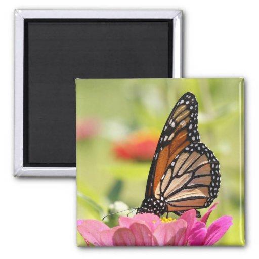 Monarch Butterfly on Pink Flower Fridge Magnets