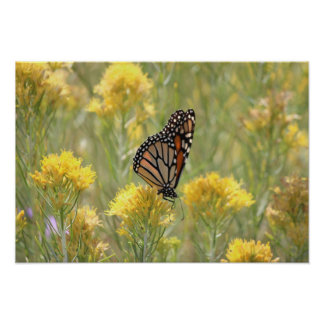 Monarch Butterfly on Rabbitbrush Poster