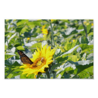 Monarch butterfly on sunflower poster