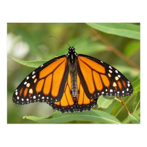 Monarch Butterfly Postcard.