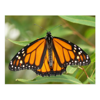 Monarch Butterfly Postcard. Postcard