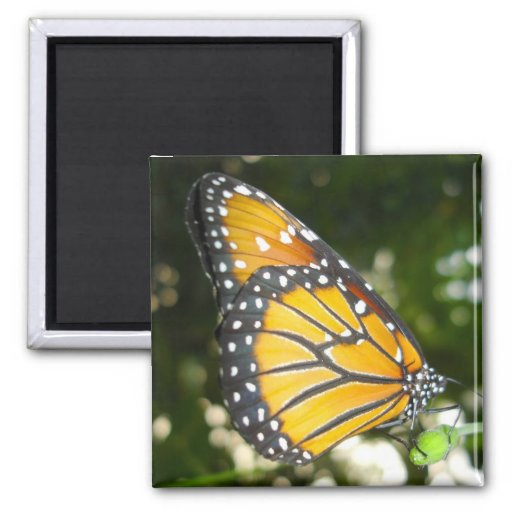 Monarch Butterfly Square Magnet Magnets