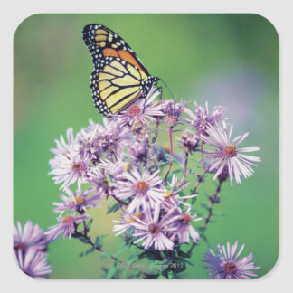 Monarch Butterfly Square Sticker