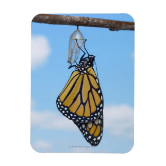 Monarch Butterfly, with Chrysalis Rectangular Photo Magnet