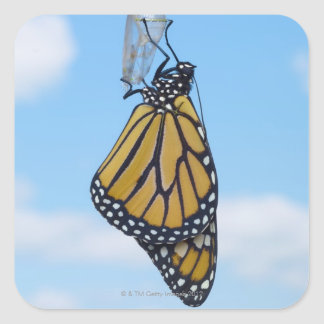 Monarch Butterfly, with Chrysalis Square Sticker