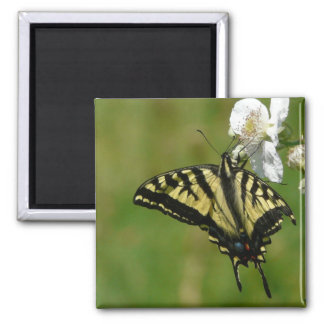 Monarch Butterly on Blackberry Blossoms Magnets