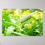 Monarch caterpillar feeding on milkweed print
