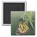 Monarch, Danaus plexippus, adult newly emerged