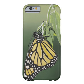 Monarch, Danaus plexippus, adult newly emerged Barely There iPhone 6 Case