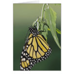Monarch, Danaus plexippus, adult newly emerged Greeting Cards