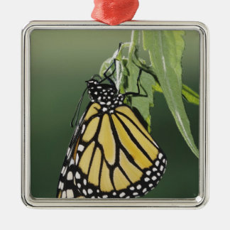 Monarch, Danaus plexippus, adult newly emerged Christmas Ornament