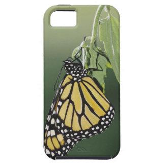 Monarch, Danaus plexippus, adult newly emerged iPhone 5 Cases