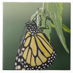 Monarch, Danaus plexippus, adult newly emerged Large Square Tile