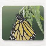 Monarch, Danaus plexippus, adult newly emerged Mouse Pad