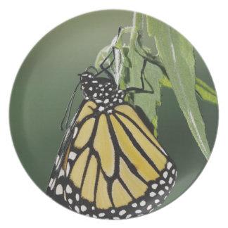 Monarch, Danaus plexippus, adult newly emerged Plate