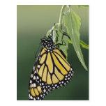 Monarch, Danaus plexippus, adult newly emerged Postcard
