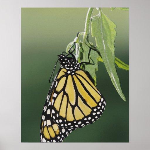 Monarch, Danaus plexippus, adult newly emerged Poster