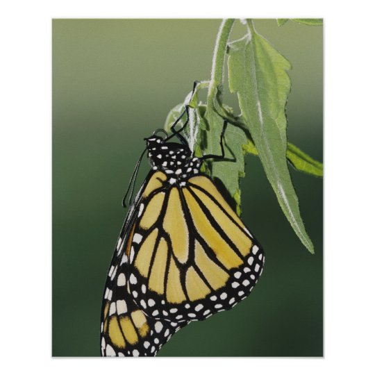 Monarch, Danaus plexippus, adult newly emerged Poster
