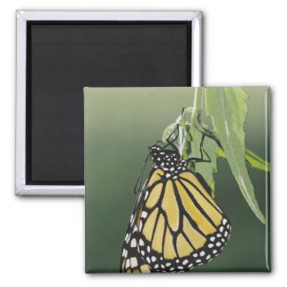 Monarch, Danaus plexippus, adult newly emerged Square Magnet