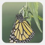 Monarch, Danaus plexippus, adult newly emerged Square Sticker