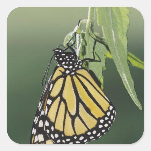 Monarch, Danaus plexippus, adult newly emerged Square Stickers