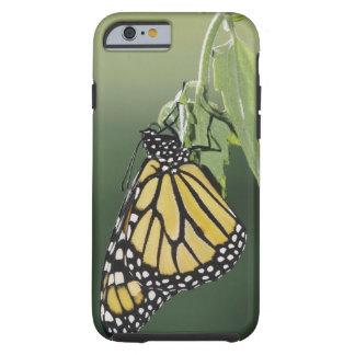 Monarch, Danaus plexippus, adult newly emerged Tough iPhone 6 Case