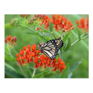 Monarch on Butterfly Weed Postcard