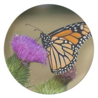 Monarch on pasture Thistle Prairie Ridge Plate