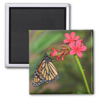 Monarch on Penta flowers Square Magnet