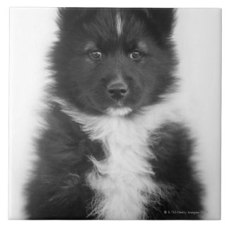 Mongrel Dog, Studio Shot Large Square Tile