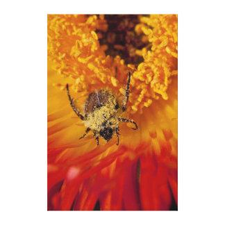 Monkey Beetle Feeding On A Gazania Flower Canvas Print
