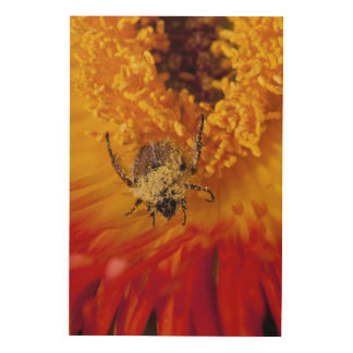 Monkey Beetle Feeding On A Gazania Flower Wood Wall Decor