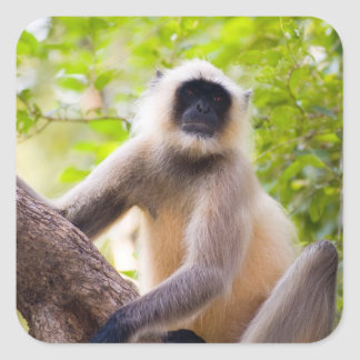 Monkey in jungle of Ranthambore National Park Square Sticker